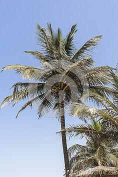 View of nice inclined palm on the blue sky background in Gambia Hotel resort Kombo beach in Serrekunda.