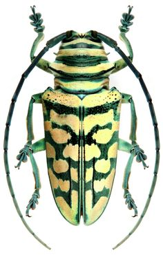 sternotomis bohemani bohndorfii Weird Insects, Bugs And Insects, Insect Eating Plants, Longhorn Beetle, Stink Bugs, Cool Bugs, Moth Caterpillar, Beetle Bug, Beautiful Bugs
