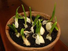 Along with green onions, garlic is one of the best health-friendly plants you can grow at home. It is super-easy and super-cheap. You may not like its taste and odor, but eating a whole garlic bulb a day works miracles for your body.  Garlic is a simple food that has strong healing properties. Gar