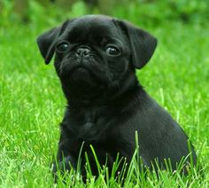 cachorros pug negros - Buscar con Google
