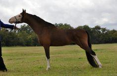 American Shetland Pony (Classic type) stallion JHK Rock E Mr Paleface