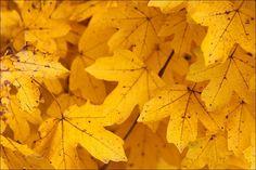 Yellow Maple Leafs - yellow