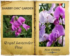 ROYAL LAVENDER VINE ~ Highly Scented Lavender Sweet Pea ~ Victorian Cottage Garden Sensation ~ 15 Seeds! by VikkiVines on Etsy