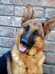 I WILL have a German Shepard! ❤