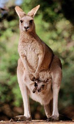 Fotos grande de canguru - Pesquisa Google