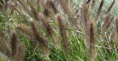 Pennisetum alopecuroides 'Viridiscens'