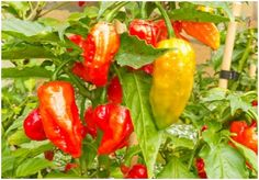 Pepper Production Guide