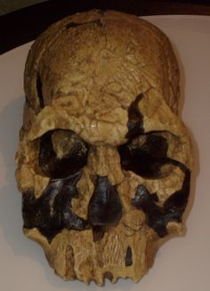 Homo rudolfensis skull (KNM ER reconstruction displayed at Museum of Man, San Diego. Ma (See this fossil in Sapiens mobile app) Homo Habilis, Biological Anthropology, Human Fossils, Early Humans, Human Evolution, Archaeological Discoveries, Paleo, Weird Creatures, Ancient Artifacts