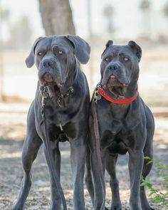 From ' The Cane Corso Club of America ' Huge Dogs, Two Dogs, I Love Dogs, Raising Canes, Cane Corso Mastiff, Dressage, Black Pitbull, Education Canine, Bully Dog