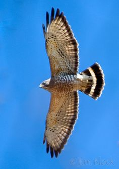 Broad-winged hawks are flying northward above Ontario during this spring migration!