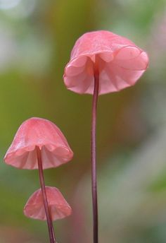 dainty pink mushrooms