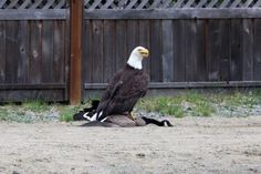DID YOU KNOW: Eagles typically eat fish, but can kill and eat animals the size of large waterfowl.