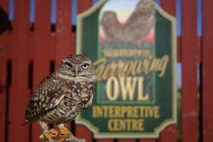 The Saskatchewan Burrowing Owl Interpretive Centre was created to help promote the conservation of the endangered Burrowing Owl. Burrowing Owl, Centre, Canada, Animals, Animales, Animaux, Animal, Animais