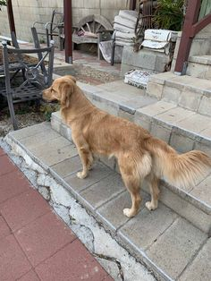 Three year old Female Golden retriever Female Golden Retriever, Dwarf Rabbit, Pet Snake, Three Year Olds, Dogs And Puppies, Pets, Puppys, Animals And Pets