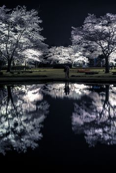 Cherry trees at night in Japan