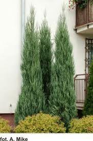 juniperus scopulorum 'skyrocket' -