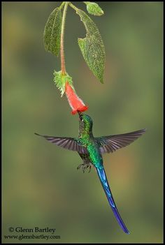 Hummingbird with Long Tail Feathers | VIOLET-TAILED SYLPH Named for its long, forked tail, the violet ...
