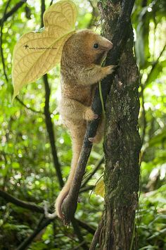 Silky Anteater - Cyclopes didactylus This cute creature is a Silky Anteater, also referred to as Pygmy Anteater, and scientifically named Cyclopes didactylus (Pilosa - Cyclopedidae). It is unique in...