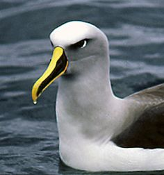 Buller's Albatross or Buller's Mollymawk, Thalassarche bulleri, is a small mollymawk in the albatross family. It breeds on islands around New Zealand, and feeds in the seas off Australia and the South Pacific.