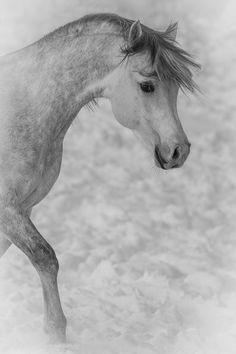 Dapple gray horse in the snow - Julia Moll » Arabisches Vollblut