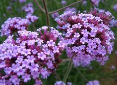 Verbena bonariensis - A late Summer flowering Perennial with Purple flowers beloved of bees and butterflies. Tall Plants, Potted Plants, Bee Friendly Plants, Architectural Plants, Border Plants, Drought Tolerant Plants, Flowers Perennials, Plant Design, Back Gardens