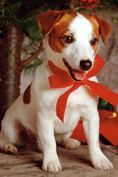 Jack Russell cutie