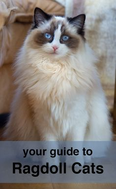 A complete guide to Ragdoll Cats                                                                                                                                                                                 More