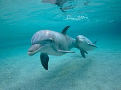 Dolphins – Facts About These Fascinating Marine Life Animals with Videos Animals And Pets, Baby Animals, Cute Animals, Wild Animals, Beautiful Creatures, Animals Beautiful, Majestic Animals, Baby Dolphins, Dolphins Logo