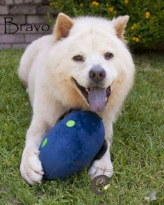 BRAVO is an adoptable Chow Chow Dog in Warren, NJ Make A DifferenceTry fostering a dog for Rawhide RescueFor more information, visit us at Rawh ... ...Read more about me on @Petfinder.com.com.com.com.com
