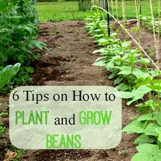 how to plant garden. 6 tips on how to plant and grow beans gnowfglins at http:// garden