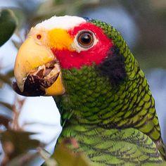 Yucatan Amazon(Amazona xantholora)