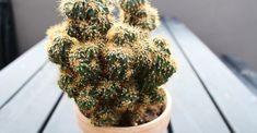 DIY: Lav nye gratis kaktusplanter