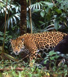 A rare site! The elusive Costa Rica jaguar spotted roaming the jungle!  Costa Rica #nature #vacations #crexperts