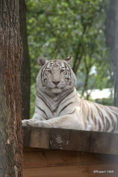 love white tigers. This picture was taken by my boyfriend in Ouwehand Zoo The Neterlands