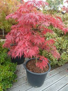 Japanese maple fall colors