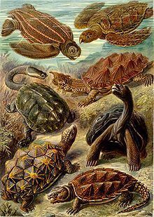 """Chelonia"""" from Ernst Haeckel's Kunstformen der Natur,Terrestrial tortoises have short, sturdy feet. Tortoises are famous for moving slowly, in part because of their heavy, cumbersome shells, which restrict stride length."""