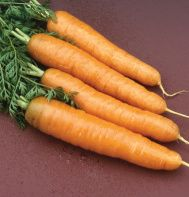 stout winter-spring carrot