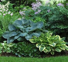 Hostas 'Blue Splendor' and 'Moon River' with wild ginger - a beautiful combination for a shade bed.