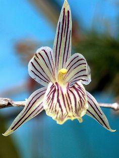 Domingoa Nodosa Orchid