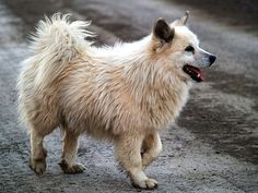 Icelandic Sheepdog Pictures