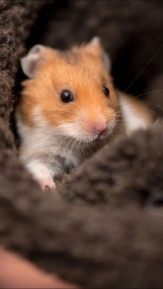 animals, wallpapers, and hamster image