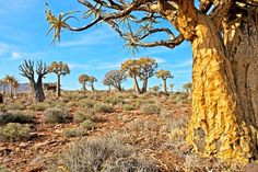 Quiver Tree Forest. Aloe dichotoma, also known as quiver tree or kokerboom, is a species of aloe indigenous to Southern Africa, specifically in the Northern Cape region of South Africa, and parts of Southern Namibia. Known as Choje to the indigenous San people, the quiver tree gets its name from their practice of hollowing out the tubular branches of Aloe dichotoma to form quivers for their arrows