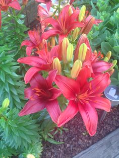 My Lilly's