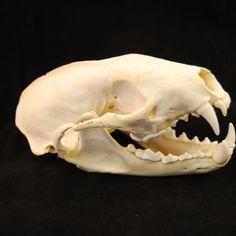 Skull - Fisher skull