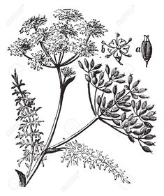 Find Caraway Carum Carvi Meridian Fennel Persian stock images in HD and millions of other royalty-free stock photos, illustrations and vectors in the Shutterstock collection. Thousands of new, high-quality pictures added every day. Engraving Illustration, Plant Illustration, Botanical Drawings, Botanical Art, Royalty Free Images, Royalty Free Stock Photos, Clip Art, Logo Restaurant, Gravure