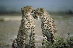 Gepárdok a kihalás szélén | Cheetahs on the edge of the #extinction Forrás/Resource: pixabay.com