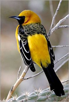 Hooded Oriole - comes every year to eat the grape jelly I put out and the sugar syrup in the hummingbird feeder :)