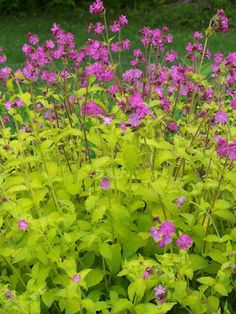 Plant Name: Silene dioica 'Ray's Golden' Growing Conditions: sun to part sun Size: 24 inches tall and wide Zone: 5-7