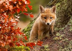A cute fox cub, standing near the autumn leaves. Cute Creatures, Beautiful Creatures, Animals Beautiful, Animals And Pets, Baby Animals, Cute Animals, Mundo Animal, My Animal, Fuchs Baby