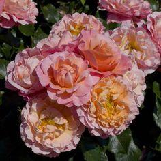 Meilland Floribunda Rose Marie Curie - 1 rose: Amazon.de: Garten
